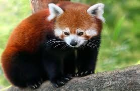Resultado de imagem para панда