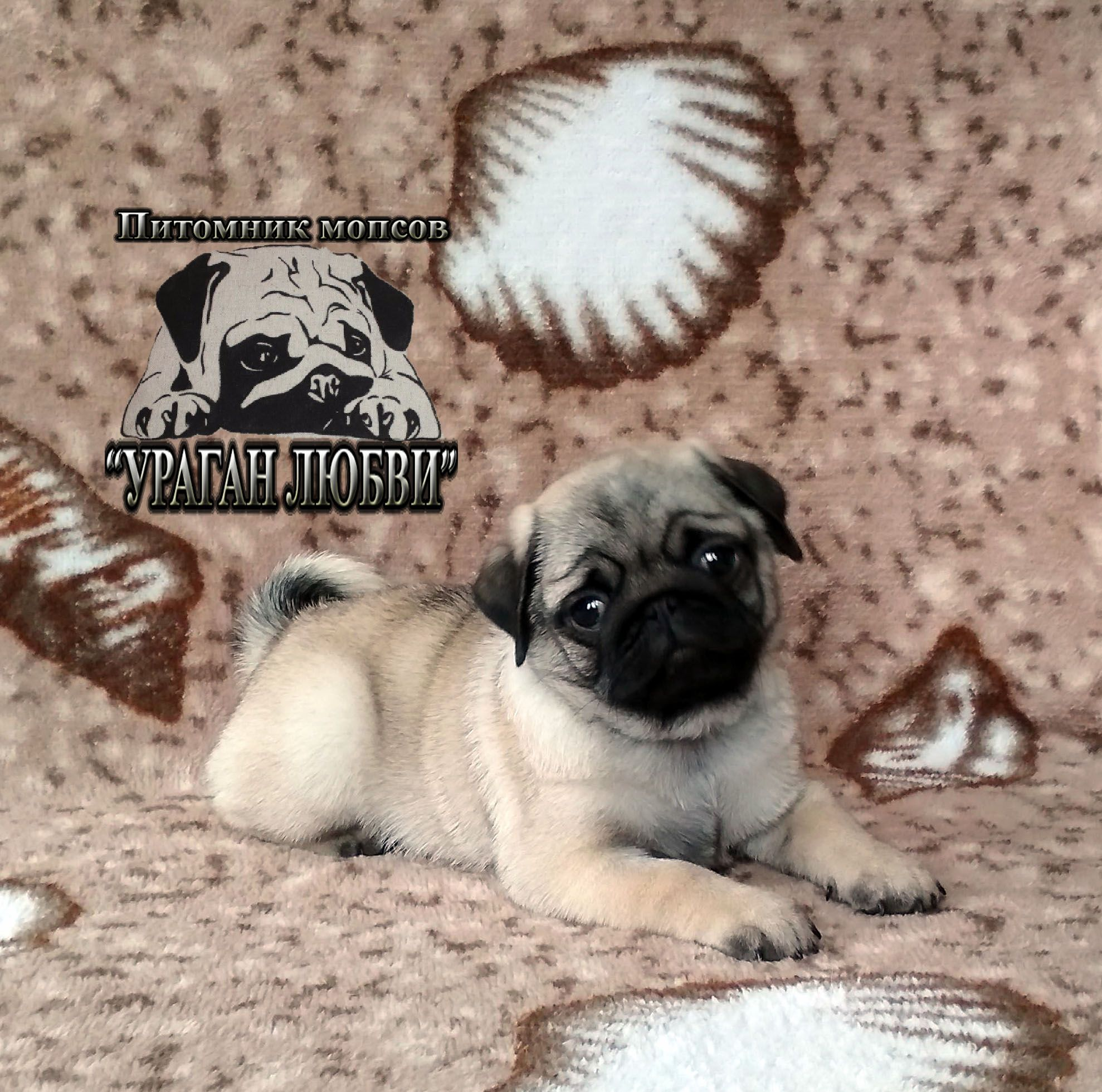 Pug Joy In Your Life Pugs Pug Puppies Pug Puppies For Sale