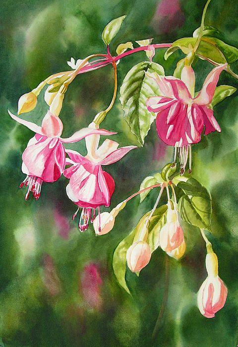 Pink Fuchsias By Sharon Freeman In 2020 Floral Painting Flower Painting Watercolor Flowers