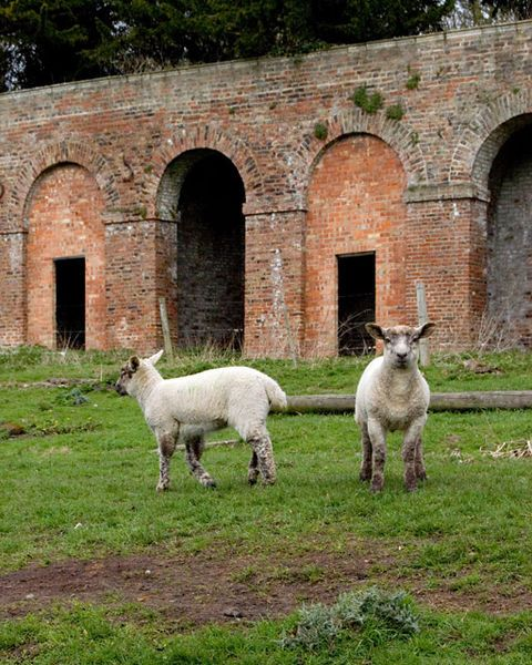 Deer Shelter And Lambs At Londesborough Park East Riding Of Yorkshire Riding England