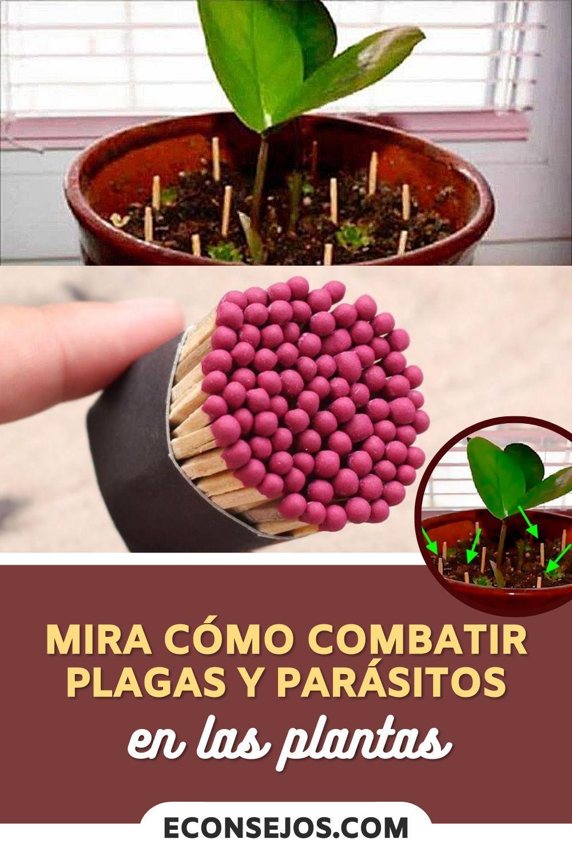 Mira Cómo Combatir Plagas Y Parásitos En Las Plantas En 2021 Plagas En Las Plantas Plantas Cuidado De Plantas