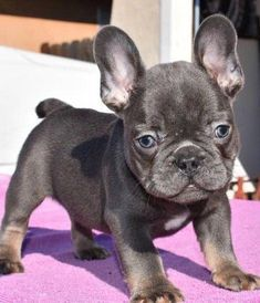 Learn Additional Information On Bulldogs Visit Our Web Site Blue French Bulldog Puppies French Bulldog Puppies French Bulldog Blue