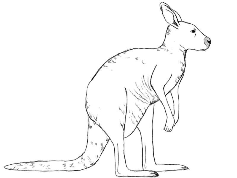 Kangaroo drawing pics how to draw a kangaroo draw central