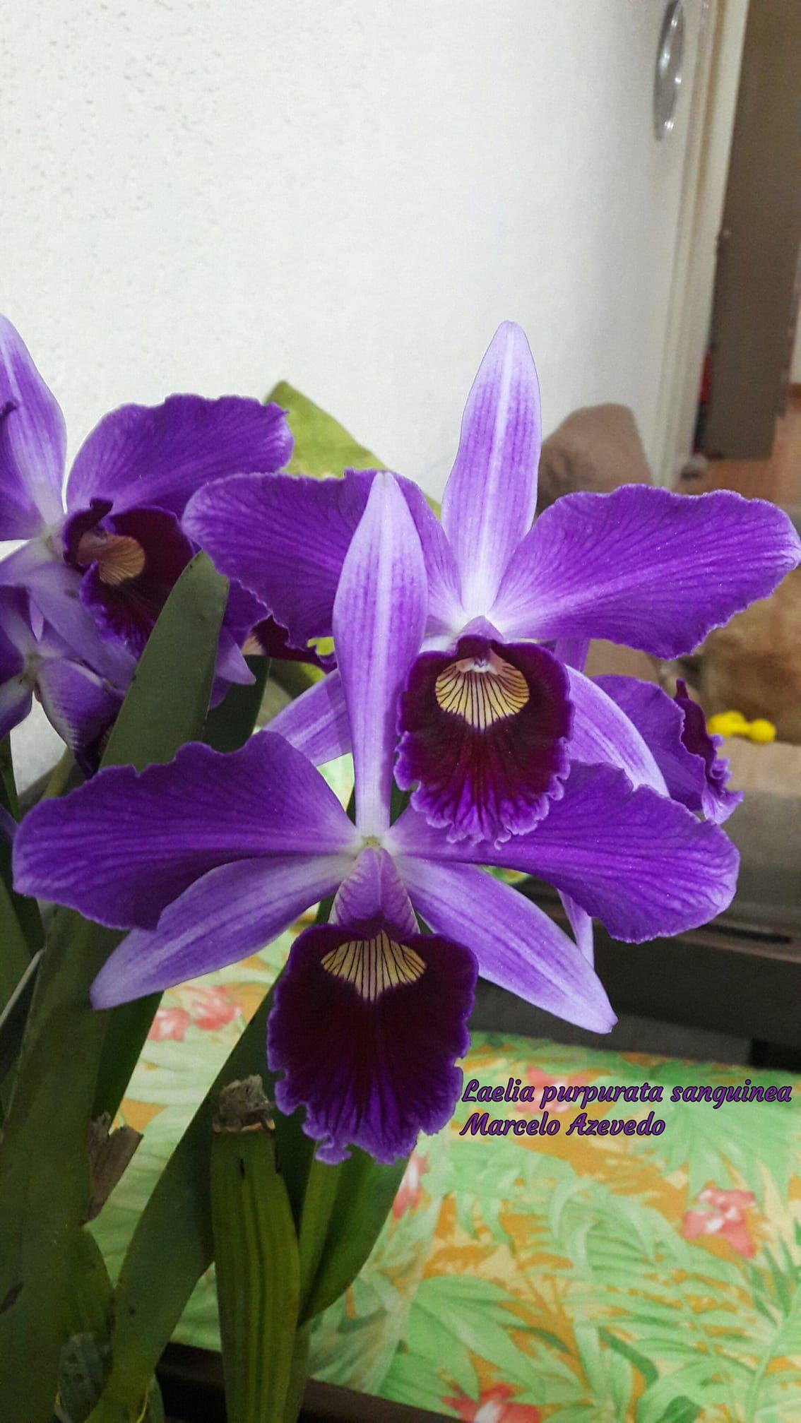 Laelia purpurata sanguinea orkideu orchids flowers og nature plants