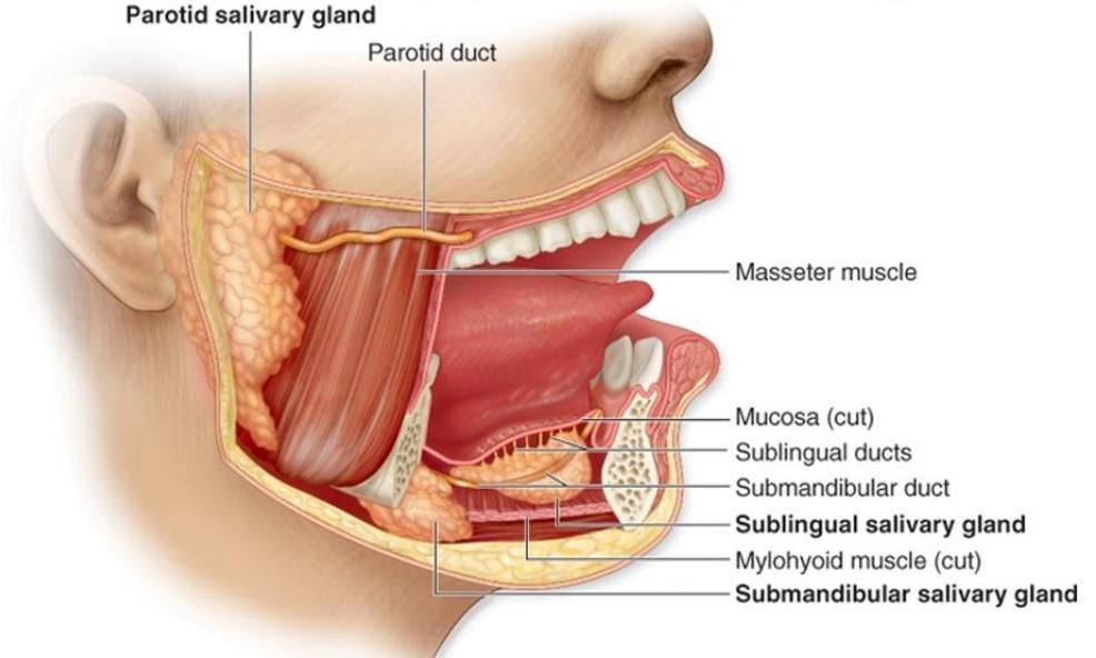 The parotid gland This is the largest of the salivary glands, lying ...