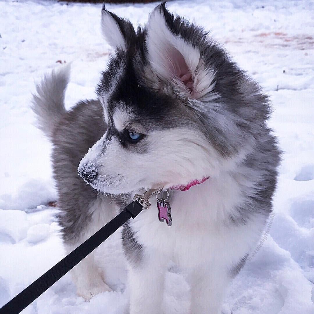 3 725 Likes 18 Comments Siberian Husky S World On Instagram