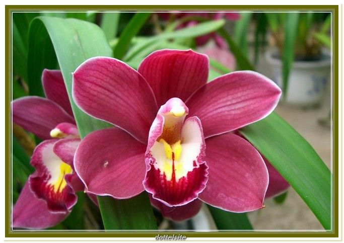 Red Orchid Flower Meaning Cymbidium Orchids Orchid Flower Unusual Flowers
