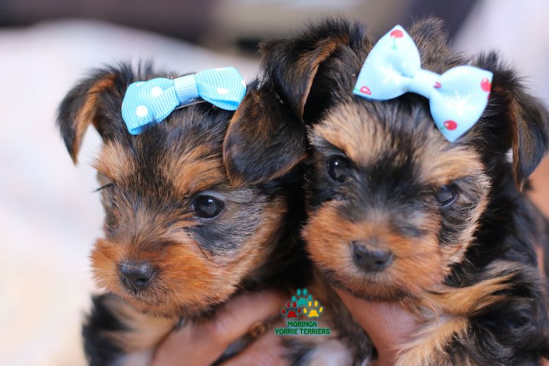 Available micro teacup yorkies toy yorkie puppies yorkie