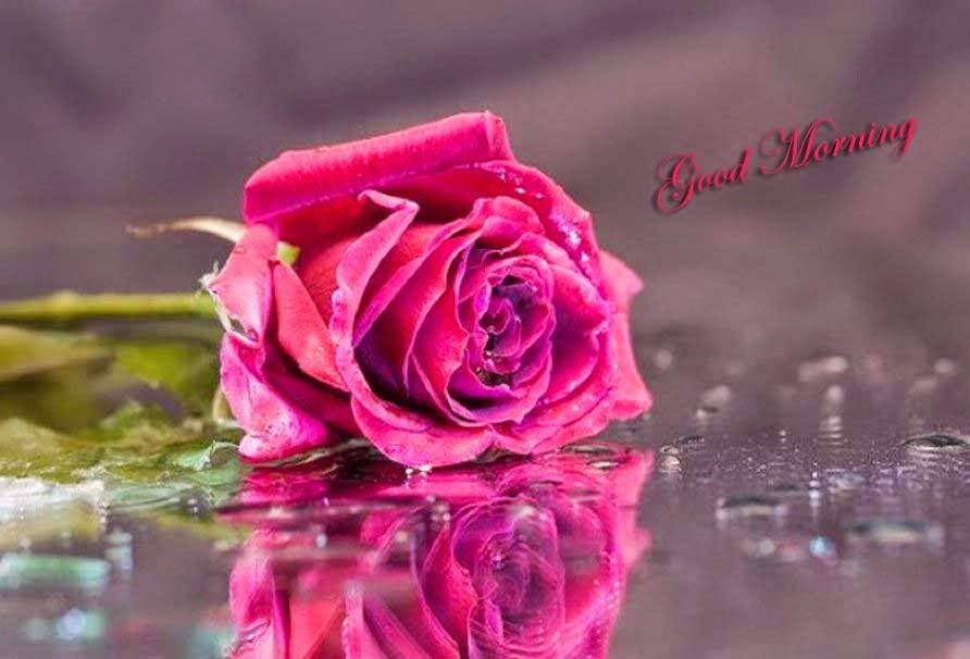Morning Pink Rose Images Jpg 892 606 Beautiful Roses Love Images Rose Images
