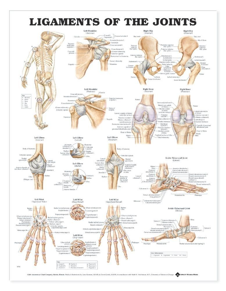 Ligaments of the Joints Anatomical Chart | Chart and Medical