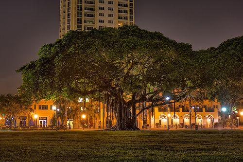banyan tree at night florida