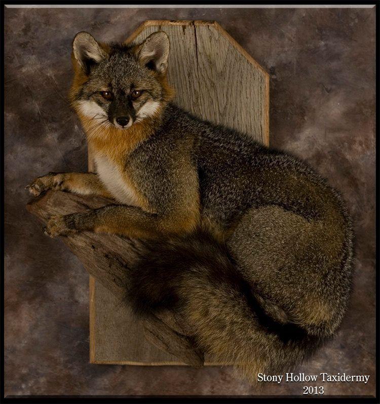 Best Stony Hollow Taxidermy S Amazing Gray Foxes Grey Fox Fox 400 x 300