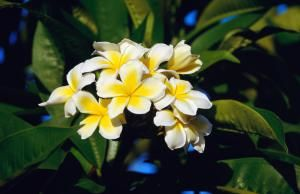 10 arbolitos para tu patio: El frangipani