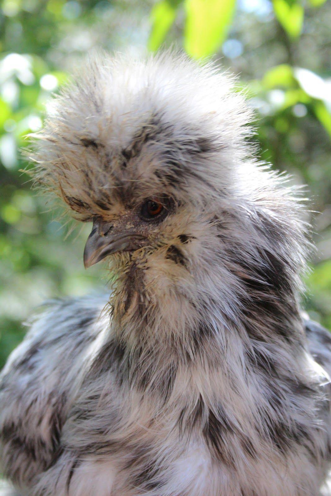 Welsummer Hen from A Chicken A Day | Beautiful creatures
