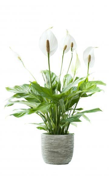 Grünpflanzen Für Dunkle Ecken 11 zimmerpflanzen für dunkle ecken bevorzugen kühler und januar