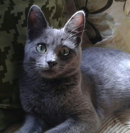 9 Russian Blue Don T Be Fooled By Talk That Russian Blues Are Aloof These Cats Just Like To Observe Before The Russian Blue Cat Russian Blue Cats And Kittens
