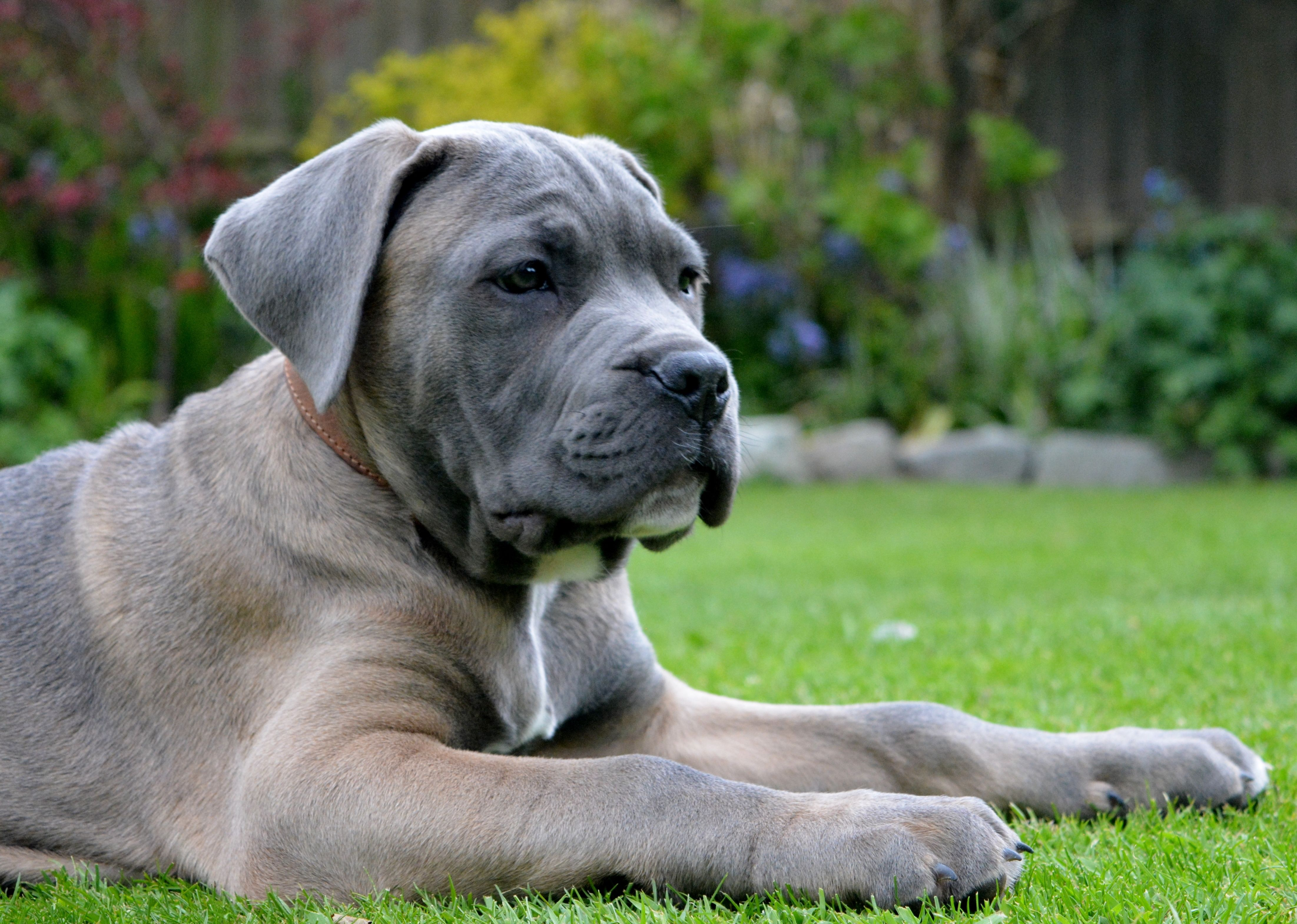 Formentino Cane Corso Pup Danny Cane Corso Best Dog Breeds Cane Corso Puppies