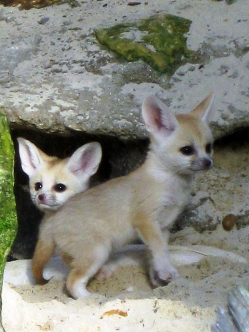 Cute baby Fennec foxes! The adorable foxes have the cutes ears
