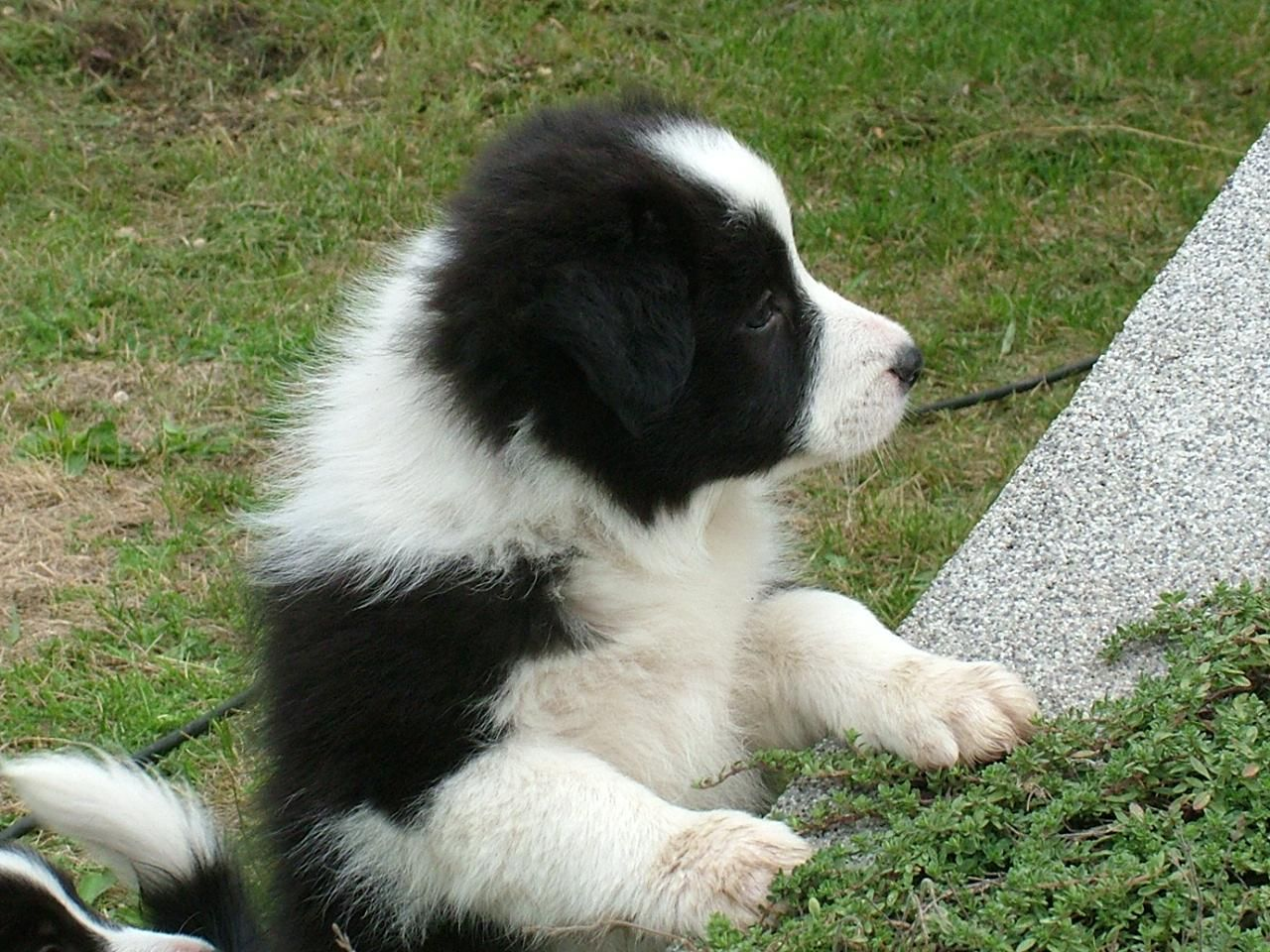 Border Collie Puppy Celtic Soul Blossom Tess Borderguard
