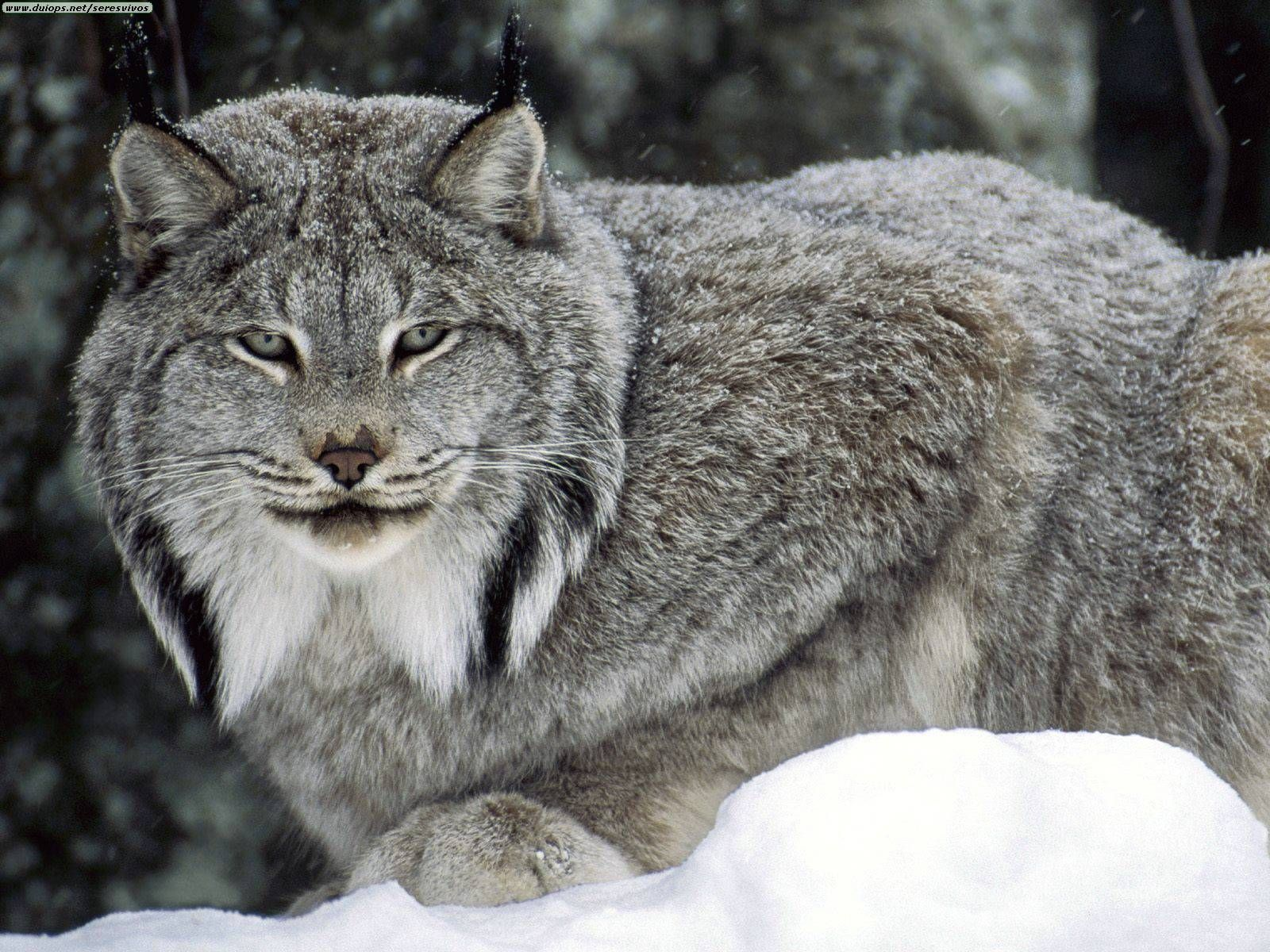 Worksheet. Unusual animals around the world  Lynx Canada lynx and Short legs