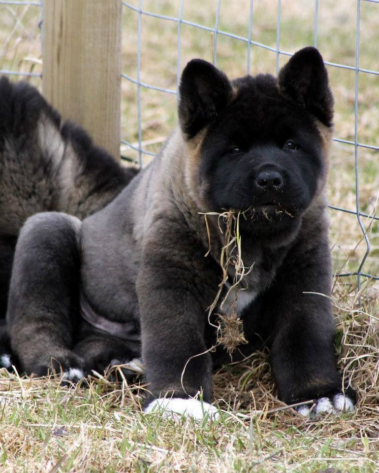 Akita Puppy This Pup Looks Part Oran Utan And Very Adorable