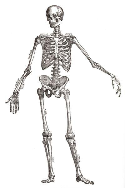 image result for skeleton greys anatomy | anatomy | pinterest, Skeleton