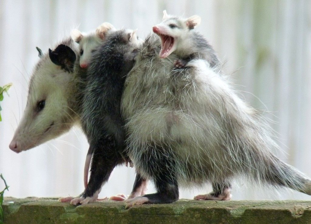 Possum Possee Passivity In The Face Of Danger May Be One Reason Opossums Are Often Considered Unintelligent But I Animals Beautiful Happy Animals Opossum