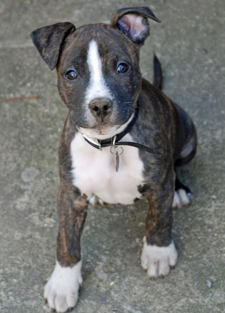 Eena The Brindle Pitbull Mix Is It Just Me Or Are These The Best