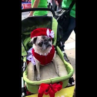 Dogger Stroller Pre Order Dog Stroller Pet Stroller