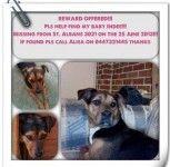 Lost Kelpie X Dog St Albans Vic 3021 Losing A Dog St Albans