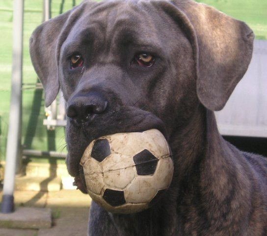 Schuba Cane Corso Wikipedia The Free Encyclopedia Animals