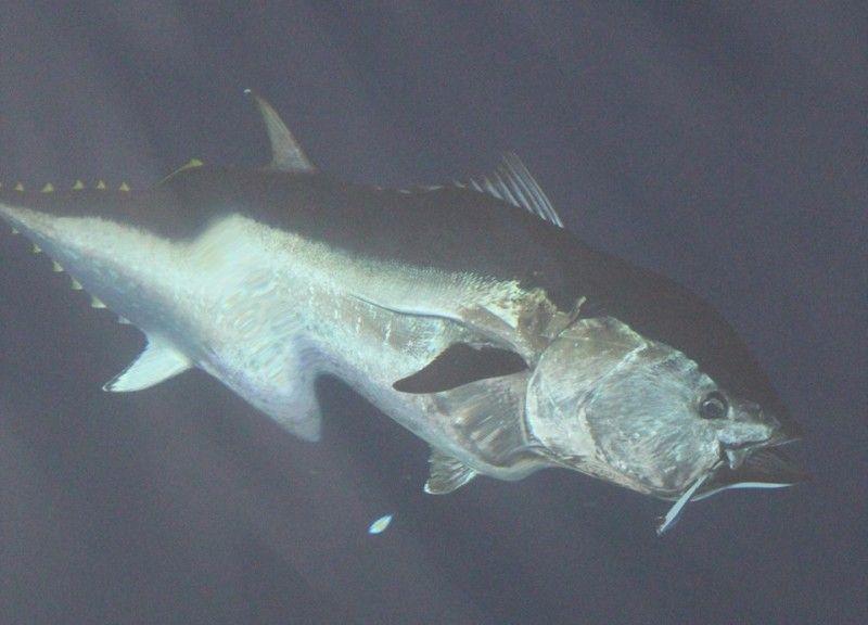 Bluefin tuna fishing opens up in mexican waters for Bluefin tuna fishing