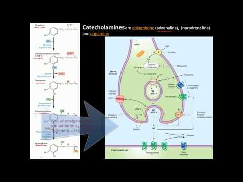 Autonomic Nervous System (ANS) - An overview of anatomy, divisions, receptors, and neurotransmitters - YouTube