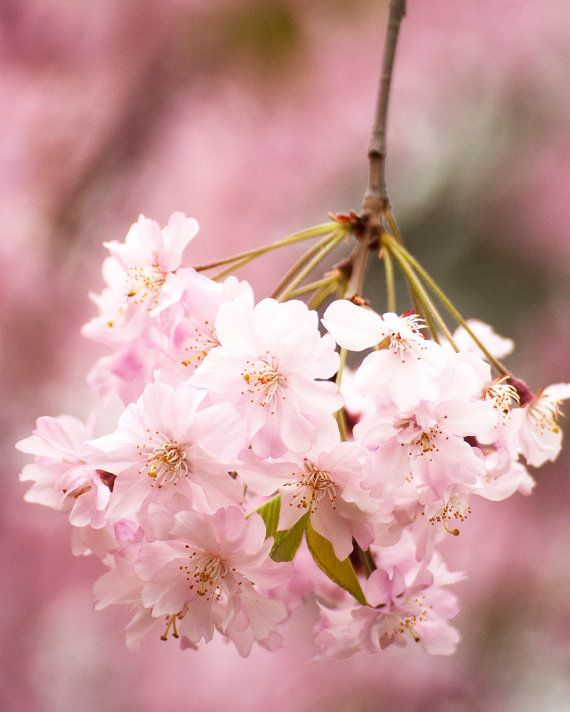 Japanese Cherry Blossoms 8x10 Fine Art Photo By Diluce On Etsy