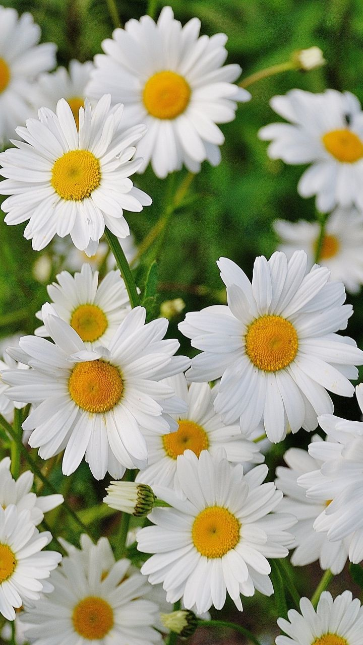 Download Wallpaper 720x1280 Daisies Flowers Petals Grass Samsung