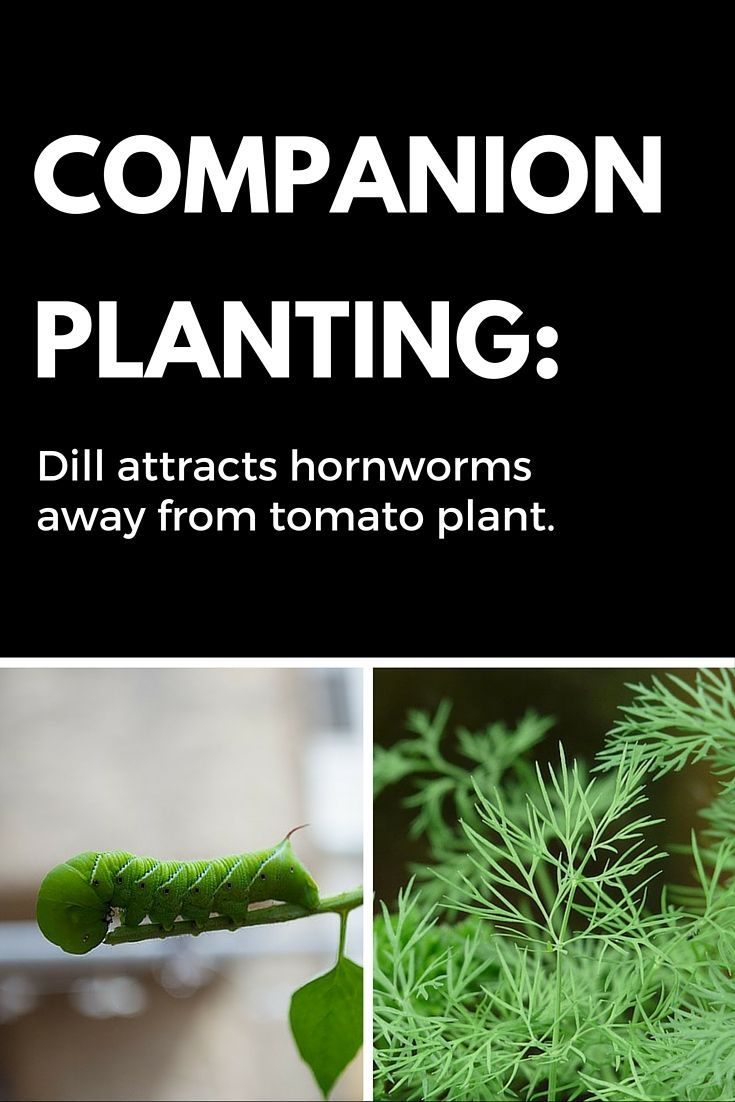Companion Planting Plant Dill Around Tomatoes For 640 x 480