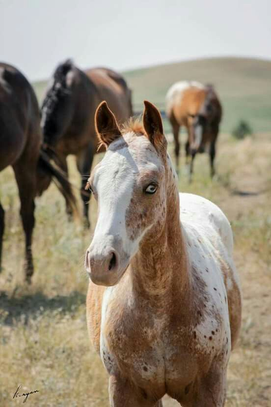 Horse of a Different Color… Splash of Irish, gorgeous ApHC red splash near leopard filly… Is the leopard complex gene (LP) necessary for Appaloosa spotting…? Photo by k. Ryan Photography Loopateli Ranch