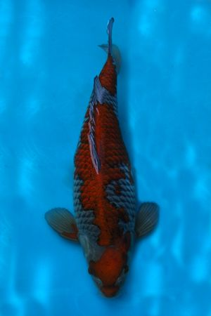 Ochiba koi pinterest koi fish and aquariums for Black and white koi fish for sale