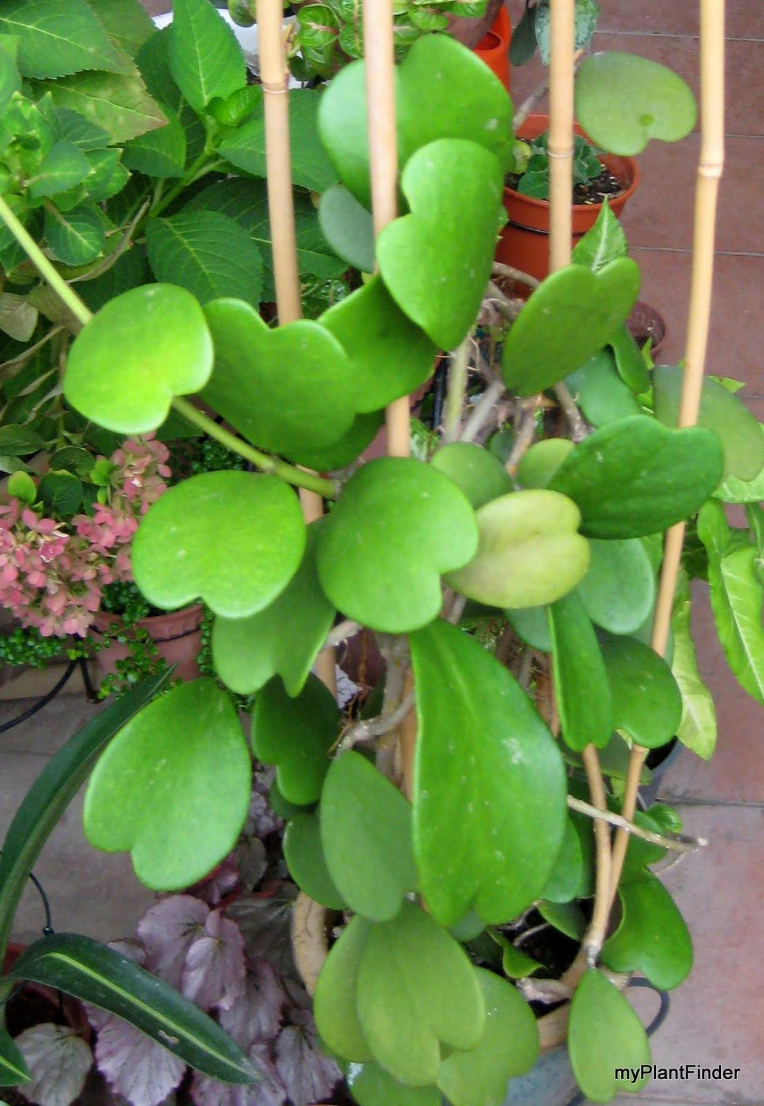 how to get hoya plant to bloom