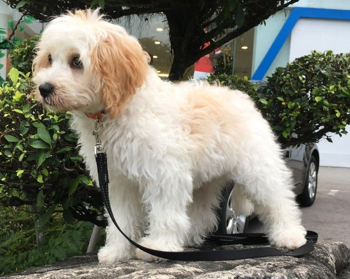 Name Cookie Breed Cavoodle Cavalier And Poodle Mix Colour