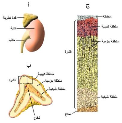 Pin By Chemistry On الحيوية In 2021 Adrenal Cortex Adrenal Glands Glands