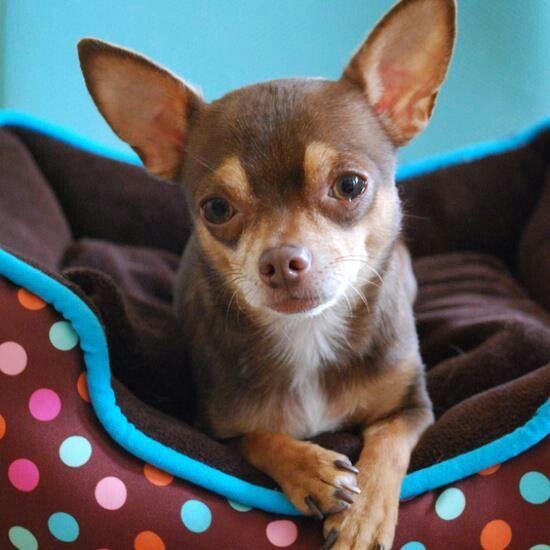 Looks A Lot Like My Chihuahua Bambi Baby Chihuahua Cute