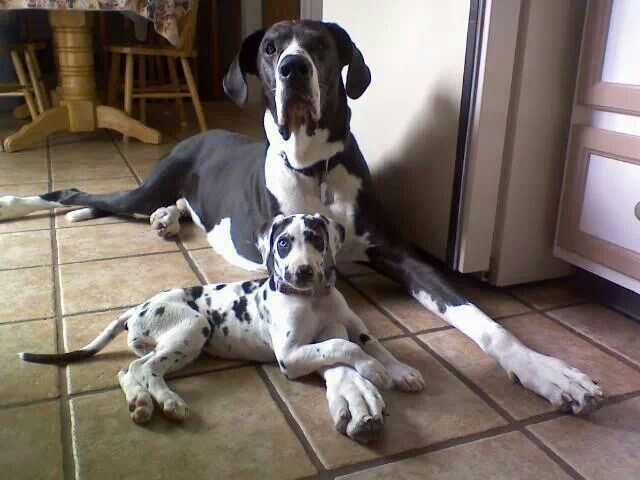 Pin By Katchin On Mostly Great Danes Pets Quotes Pinterest