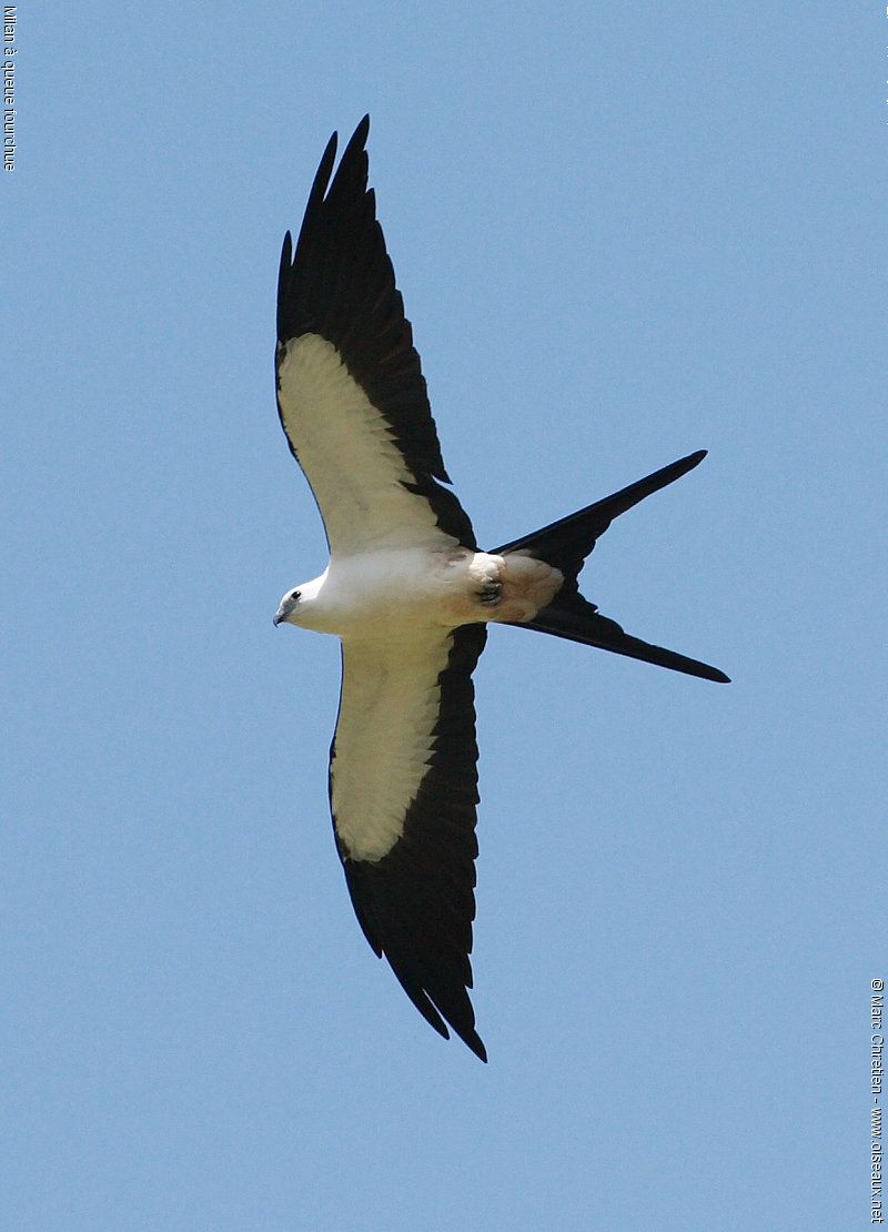 swallow tailed kite seen almost everywhere including the