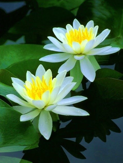 """Do you know what is water lily?The Water Lily, also known as Nymphaeaceae or """"water lily family"""", is a family of flowering plants and can b..."""