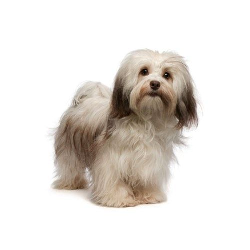 Havanese Puppies Havanese puppies, Havanese dogs, Havanese