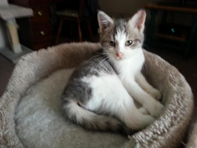 Adopt Daisy Primrose Ready In Late Feb On Petfinder Grey And White Cat Kittens Tabby