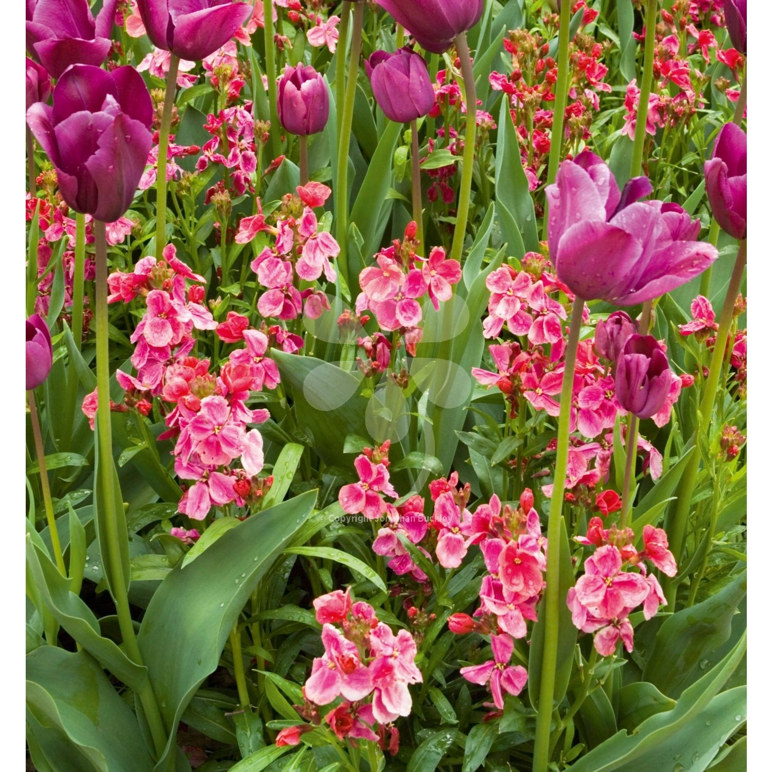 Wallflower Giant Pink Is A Beautiful Classic Cottage Garden Plant