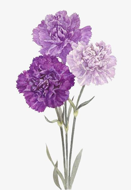 Purple Flowers Purple Flowers Wallpaper Purple Flowers Purple Carnations