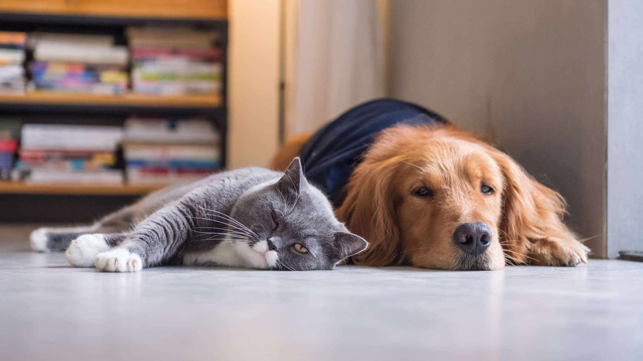 5 dog breeds that get along with cats dogs pets cats